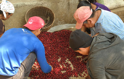 Sorting Coffee Cherries.